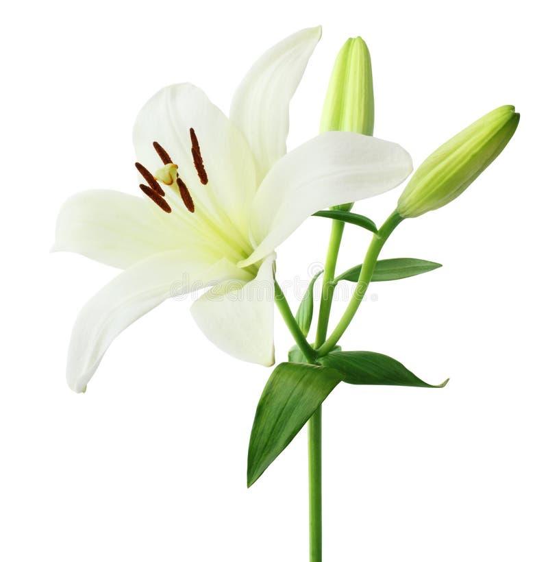 Lily Lilium branca bonita, Liliaceae com os botões isolados no fundo branco, incluindo o trajeto de grampeamento foto de stock royalty free