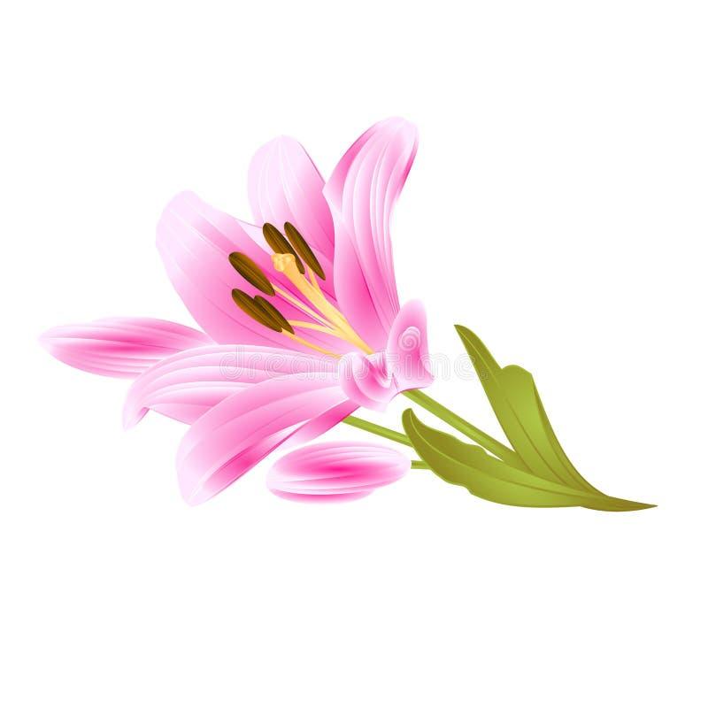 Lily Lilium cor-de-rosa candidum, a flor com folhas e o botão em um vintage branco do fundo vector a ilustração editável ilustração do vetor