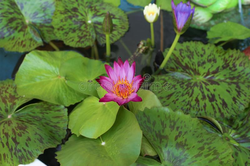 Lily in water. Lily Lotus bloomed in the water, green leaves around her royalty free stock images