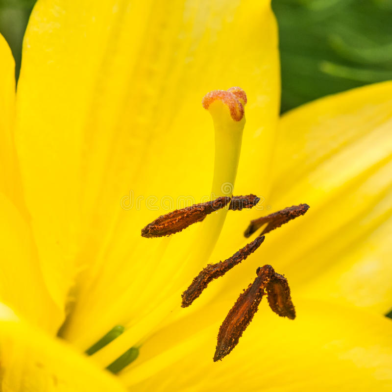 Download Lily Love stock image. Image of square, yellow, pollen - 28192159