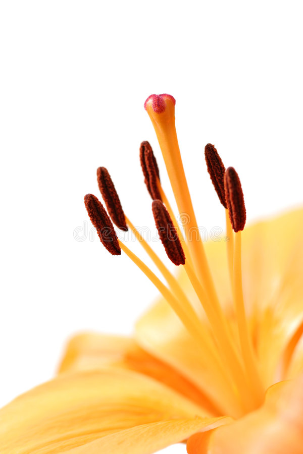 Download Lily Macro Stock Images - Image: 468264