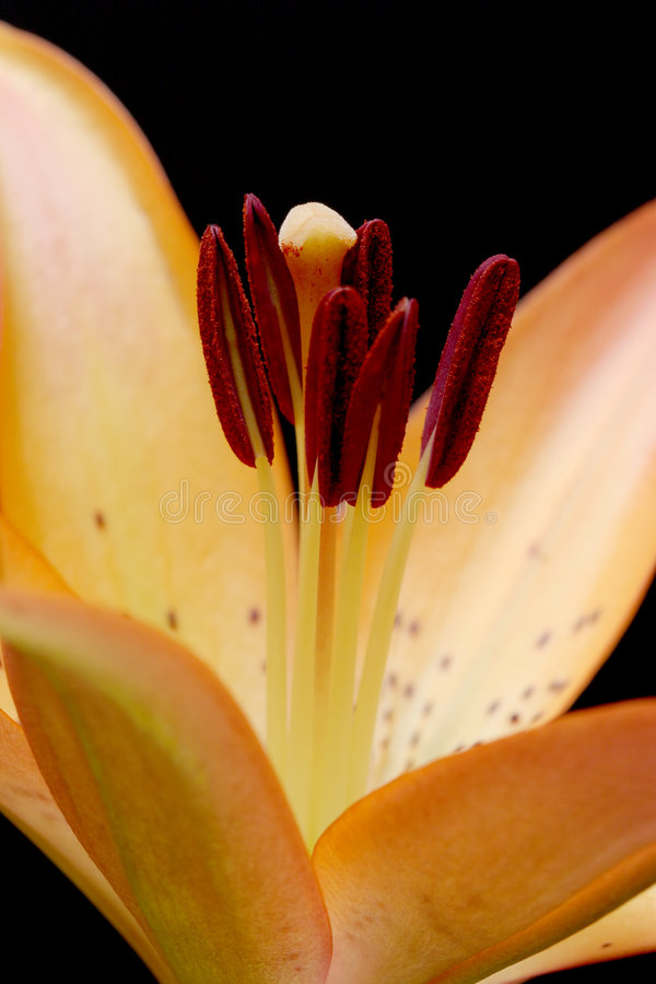 Free Lily Macro Over Black Stock Photography - 229942