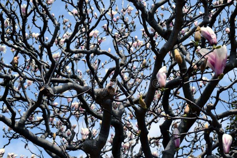 Lily Magnolia stock afbeeldingen