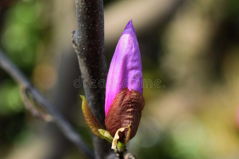 Lily Magnolia royalty-vrije stock foto