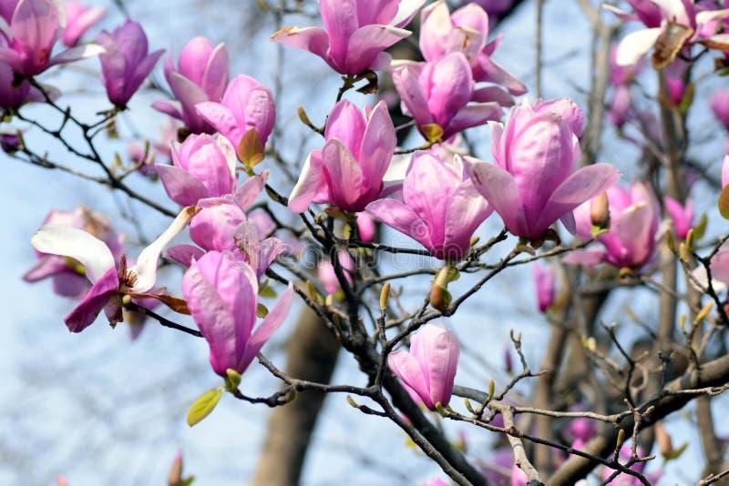 Lily Magnolia royalty-vrije stock fotografie
