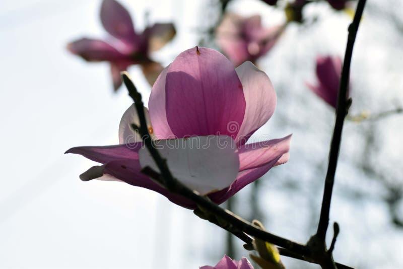 Lily Magnolia royalty-vrije stock afbeeldingen