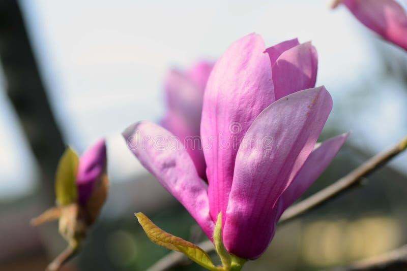 Lily Magnolia royalty-vrije stock foto's