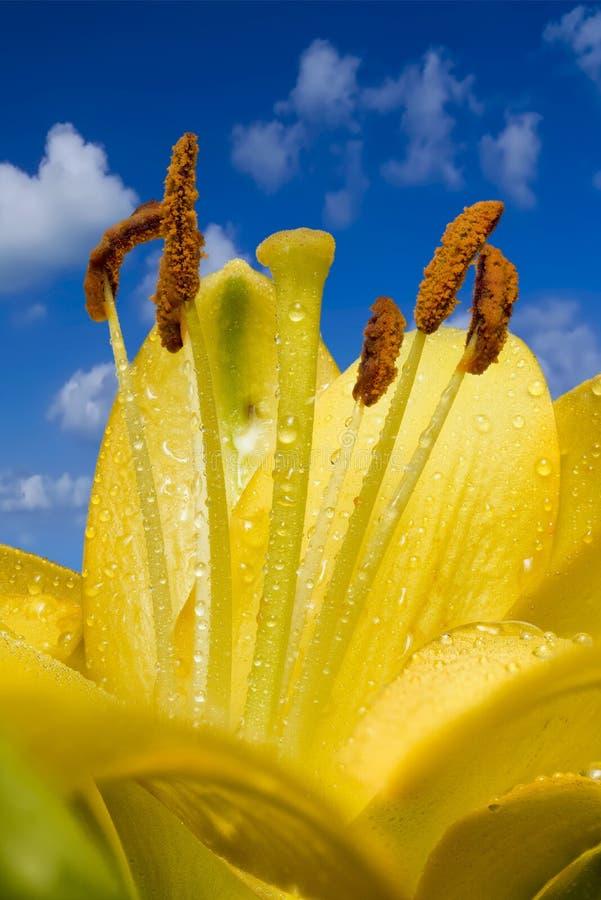 Lily After molhada a chuva imagem de stock