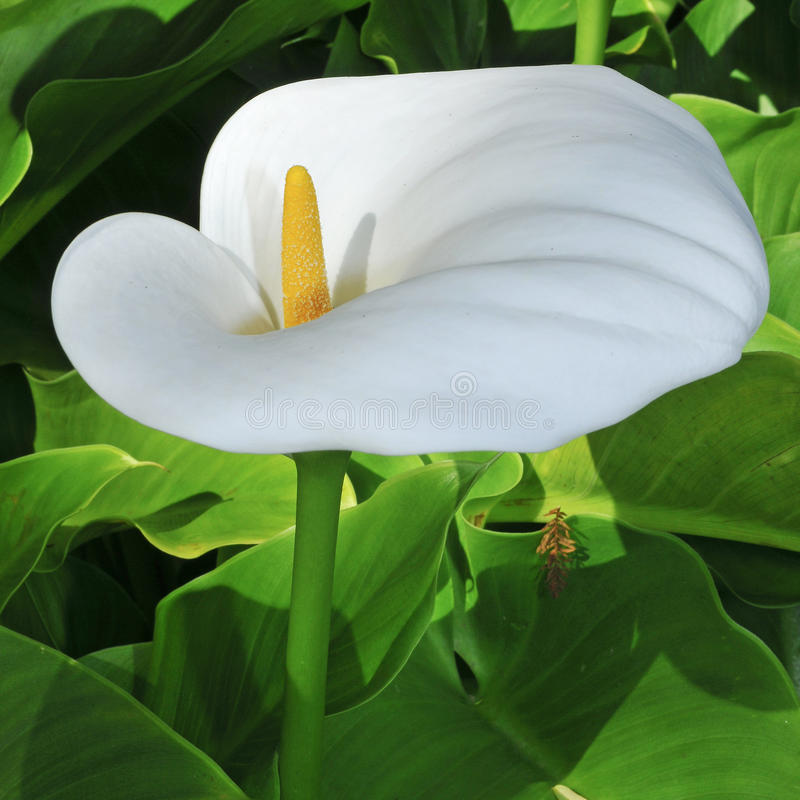 Lily of the Nile. Closeup of a Zantedeschia aethiopica or Lily of the Nile stock photography