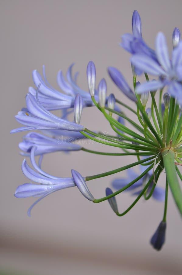 lily Nilu kwiat zdjęcia stock
