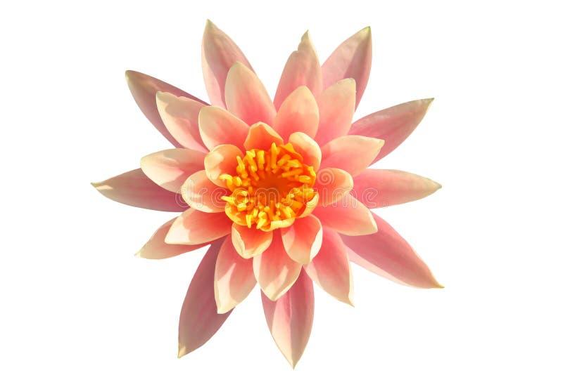 lily odosobnionej tropikalnym white wody fotografia stock