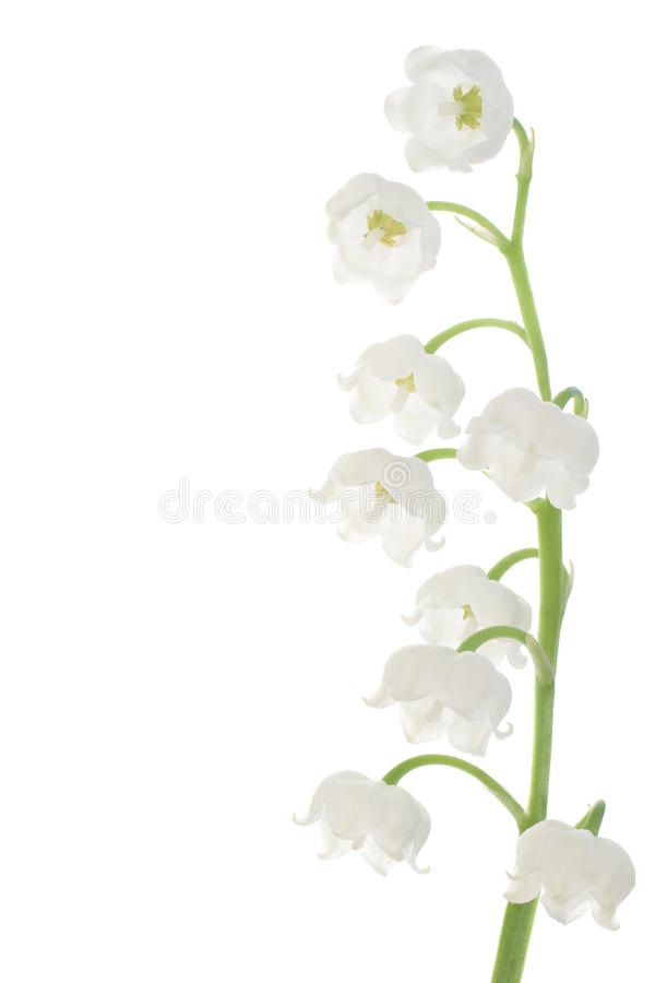 Free Lily Of The Valley Royalty Free Stock Photos - 15190908