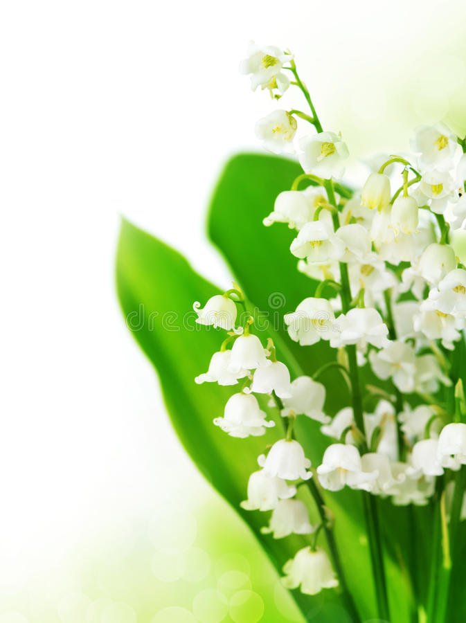 Free Lily Of The Valley Royalty Free Stock Photo - 19466785