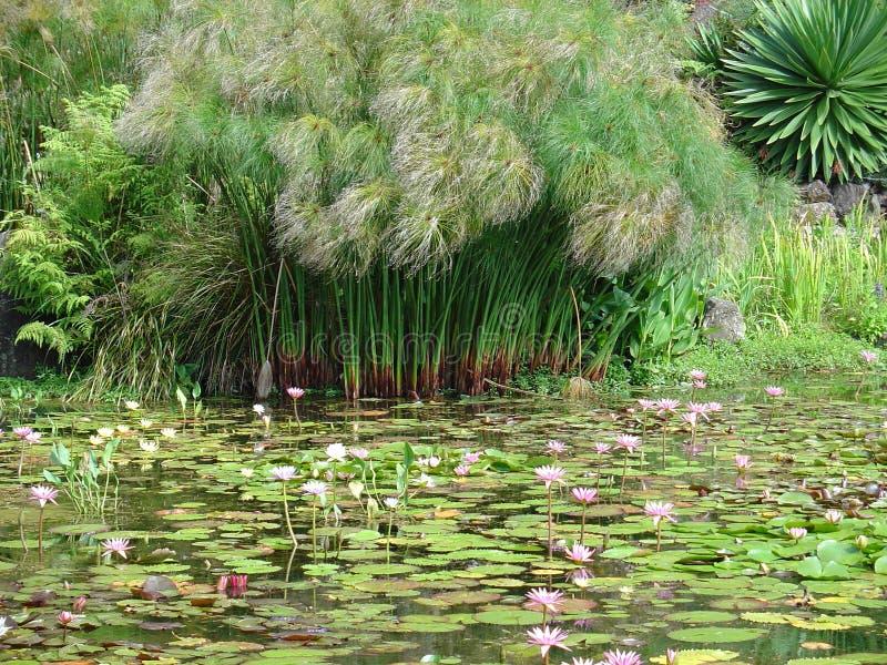 lily ogrodowa wody. zdjęcia royalty free