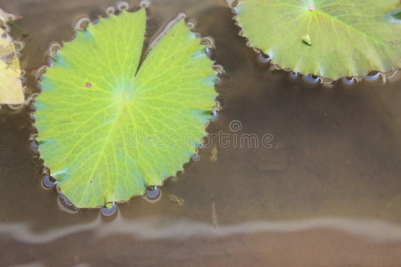 Lily Pad images stock