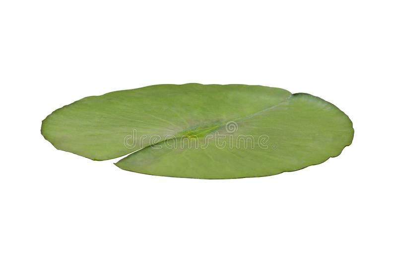 Lily Pad imagem de stock