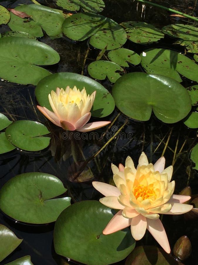 Lily Pad Flower imágenes de archivo libres de regalías