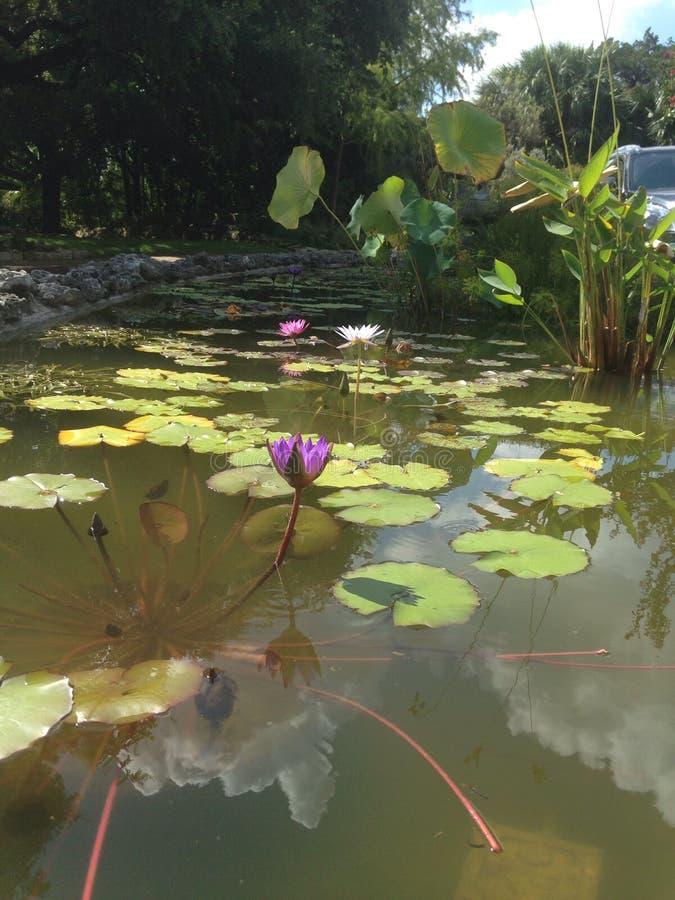Lily Pad Flowers photos libres de droits