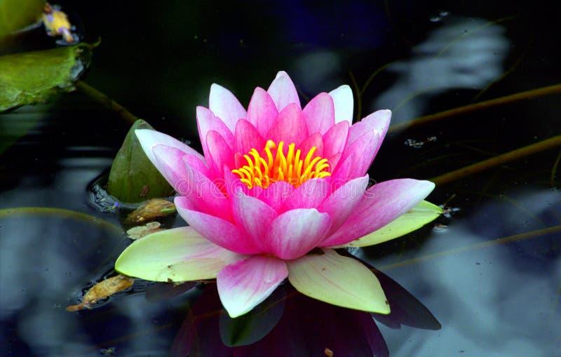 Lily Pad rosa immagine stock libera da diritti