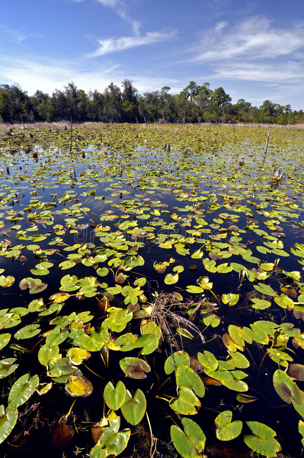 Download Lily Pad Swamp stock image. Image of lotus, meditation - 13863925