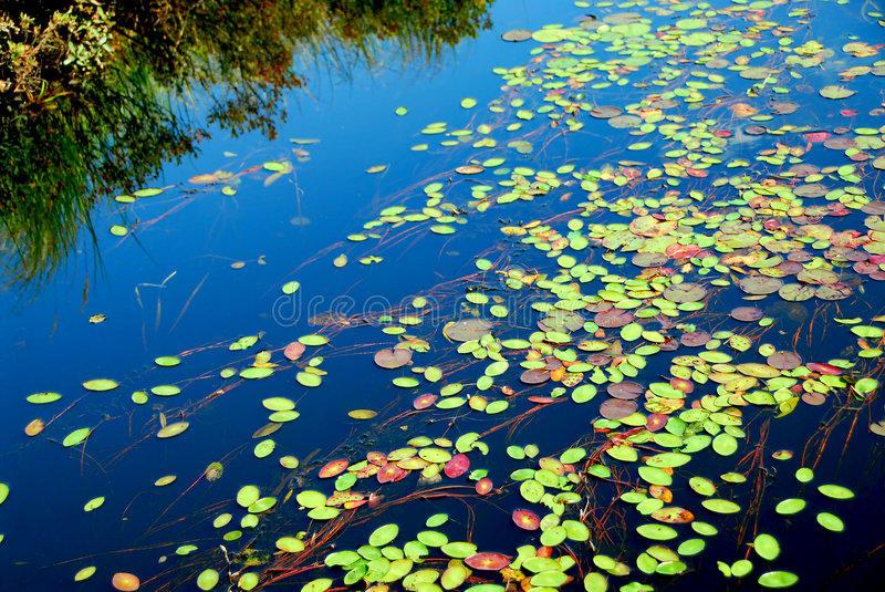 Lily pads. On blue water royalty free stock photography