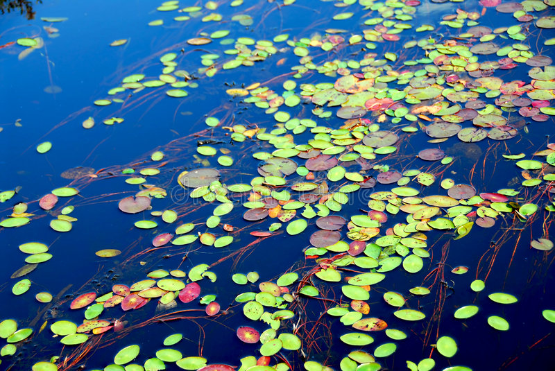 Lily pads. On blue water royalty free stock images