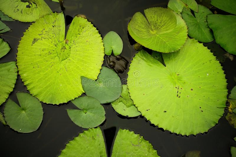 Lily pads. Selection of different size lily pads on water royalty free stock photography