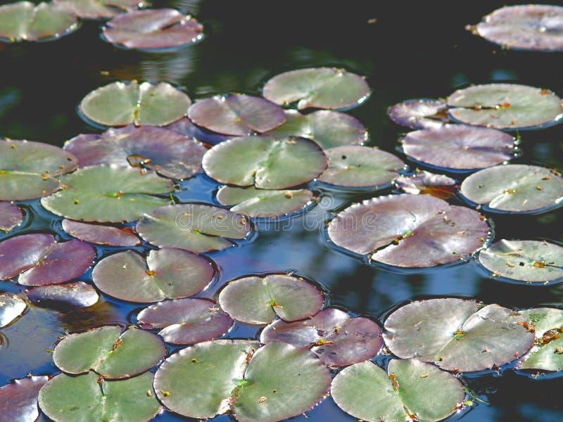 Lily Pads stock afbeeldingen