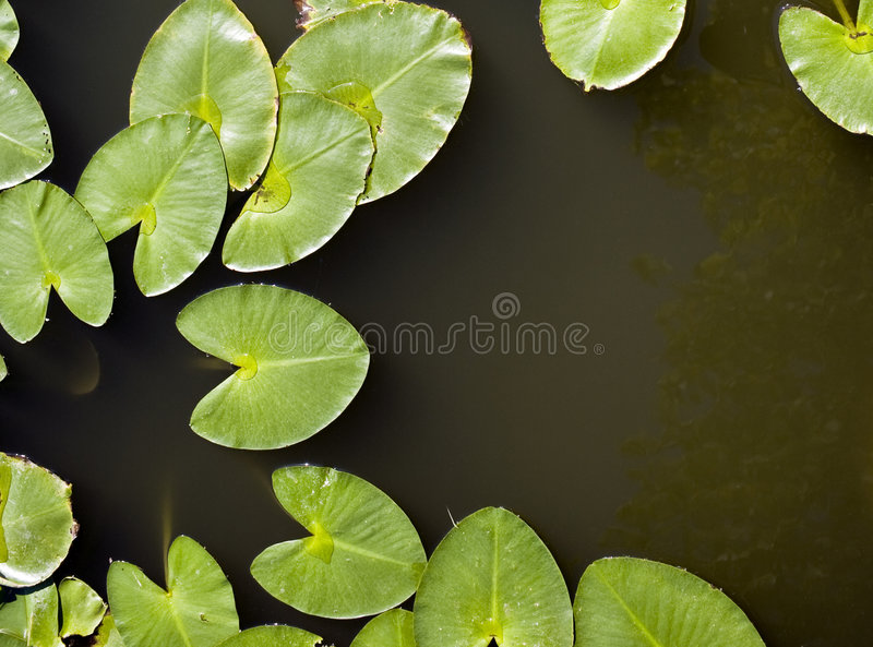 Lily Pads. Water lily leaves, otherwise known as lily pads stock images