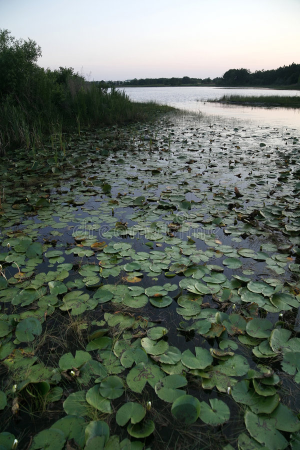 Lily Pads. Florida wetlands filled with a bunch of lily pads royalty free stock photo