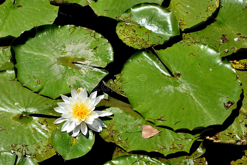 Lily Pads with a Blooming Water Lily. Big green lily pads in the lake with a white water lily blooming with a yellow center stock photography