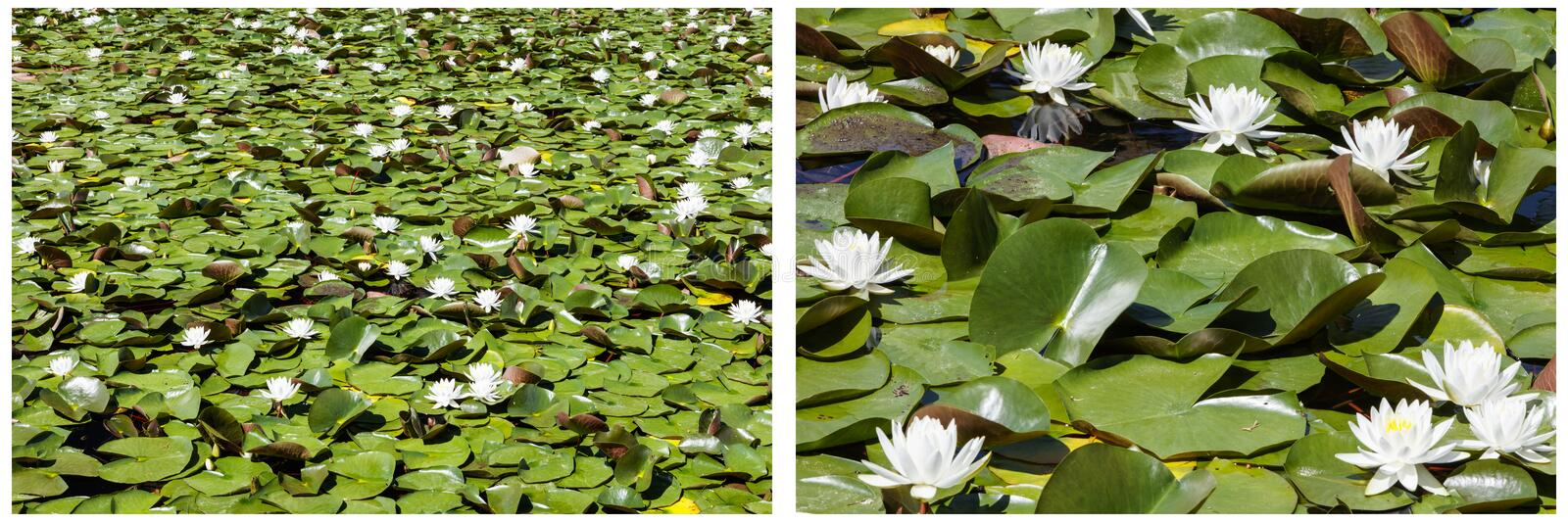 Lily pads blossom white water collage royalty free stock photography