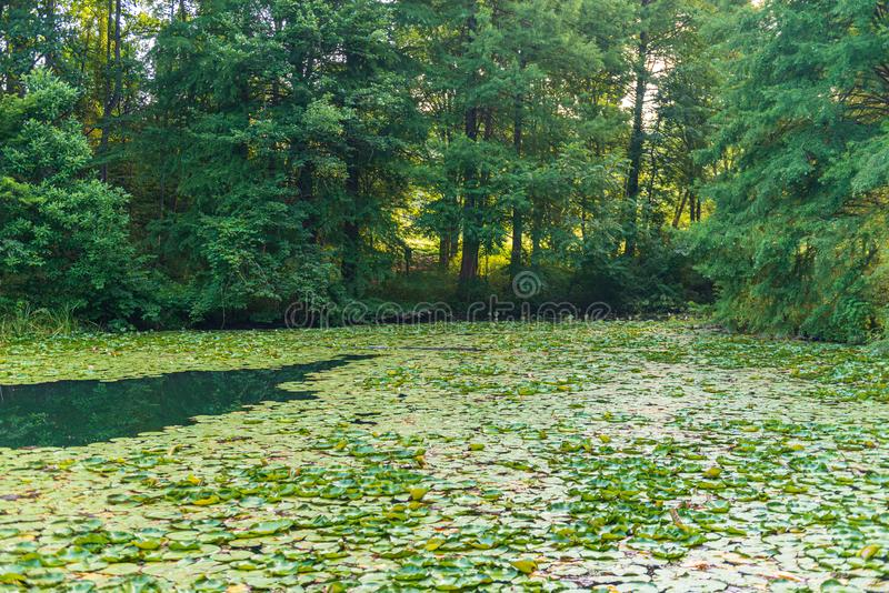 Lily Pads Cover un lac image stock