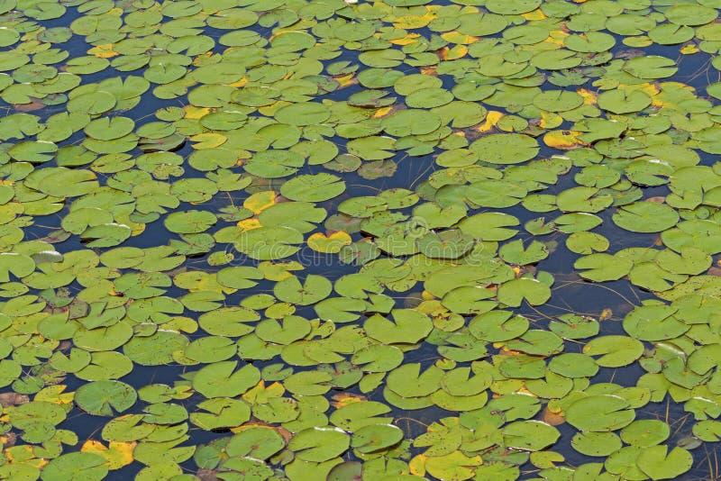 Lily Pads Covering un lago a distanza immagine stock