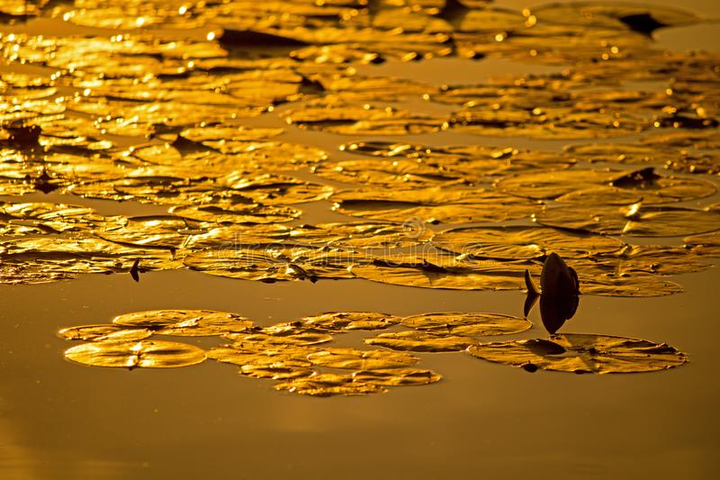 Lily Pads In The Golden Light Of Sunset. Lily pads crowd the surface of the mill pond in Hillsburgh, Ontario, Canada, glowing in the golden light of the oncoming stock photo
