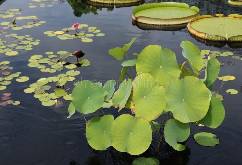 Lily Pads Decorate a Drab Pond Surface With Their Bright Greenery and Round Shapes royalty free stock photography