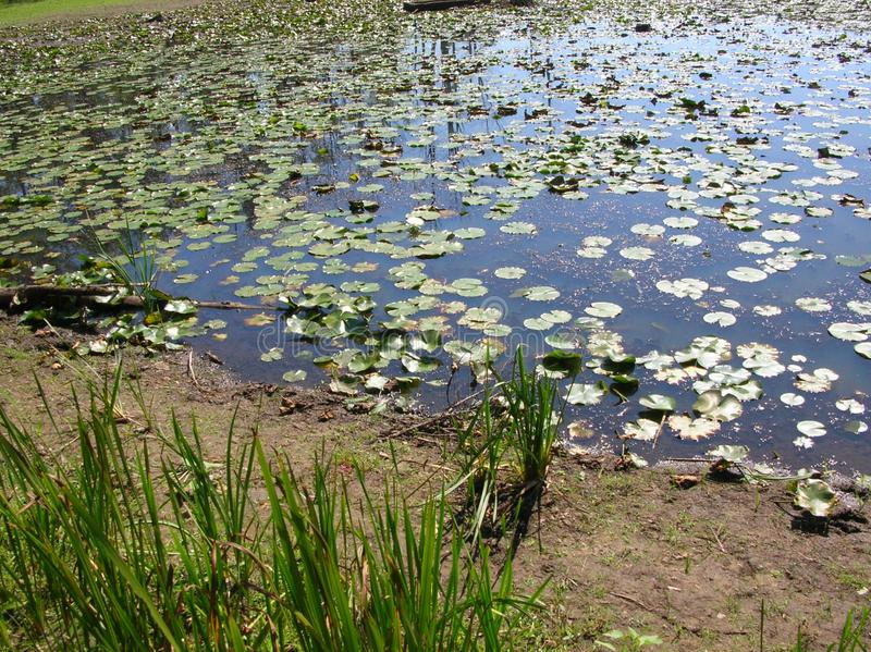 Lily Pads. Detail of a Pond with Green  Lily pads. Also had Reflection of trees in water royalty free stock images