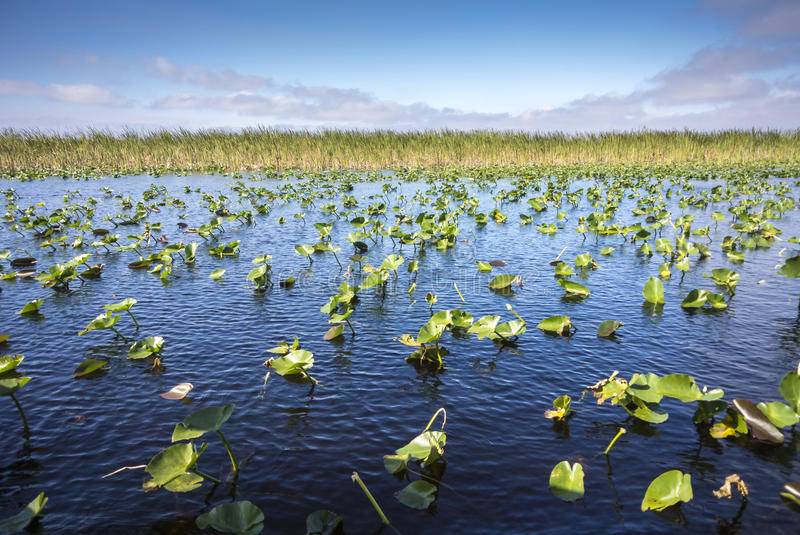 Lily Pads in the Everglades. Landscape in the Everglades of blue water and lily pads royalty free stock image