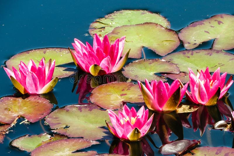 Lily Pads and Flowers at Denver Botanical Garden royalty free stock images