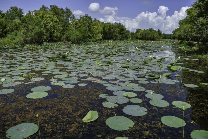 Lily Pads i alm sjön på den Brazos krökningdelstatsparken royaltyfri bild