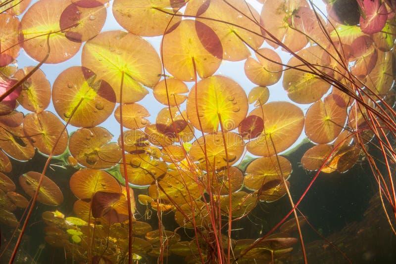Lily Pads i sjön royaltyfria bilder