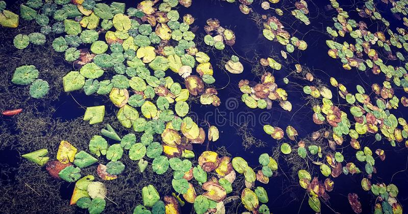 Lily Pads in the lake. Floating lily pads stock photography