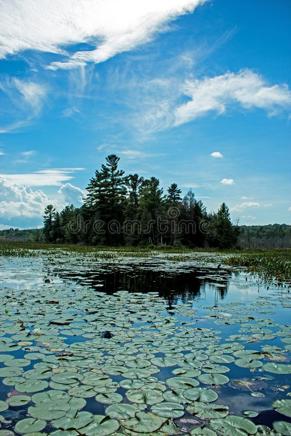 Lily Pads Lead To A Peninsula Covered In Pine Trees. The lily pads lead the way to a peninsula covered in pine trees. Location is on Nogies Creek in the Kawartha royalty free stock photos