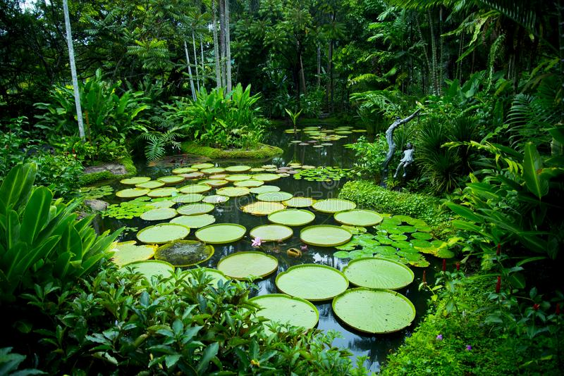 Lily Pads. In Singapore Botanic Gardens royalty free stock photography