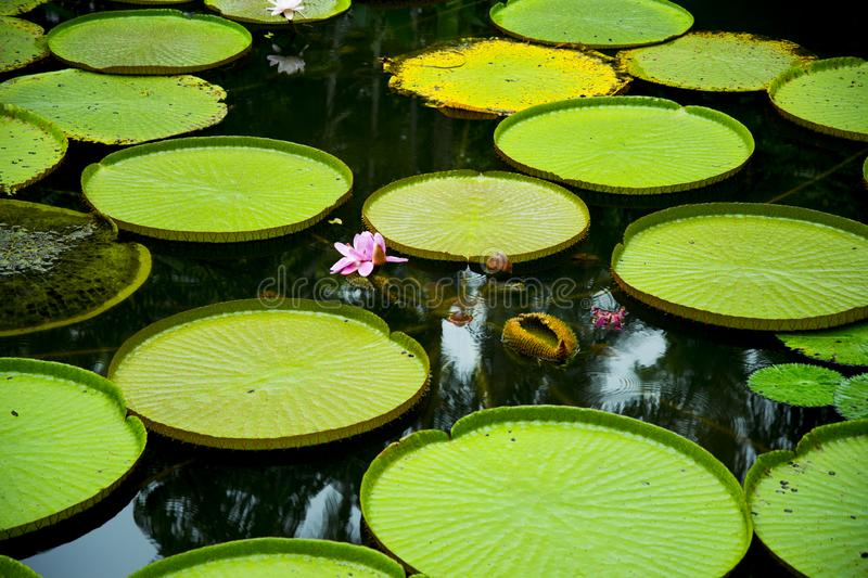 Lily Pads. In Singapore Botanic Gardens stock photography