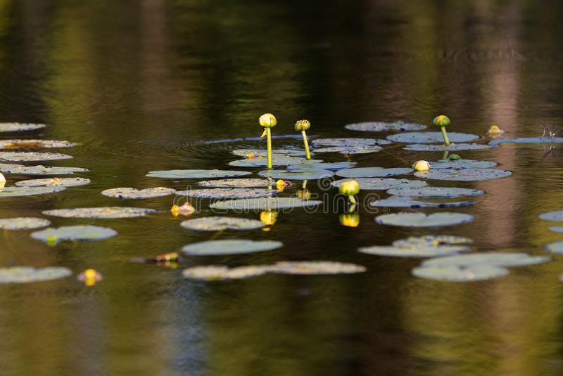 Lily Pads på en sjö i sommar arkivbild