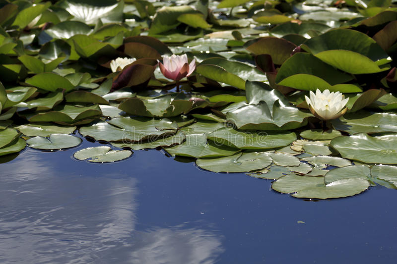Lily pads in a pond. A background of lily pads in a pond royalty free stock images