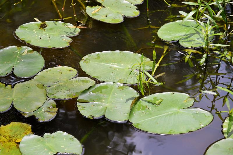 Lily pads in pond. Lily pads float in a pond royalty free stock photography