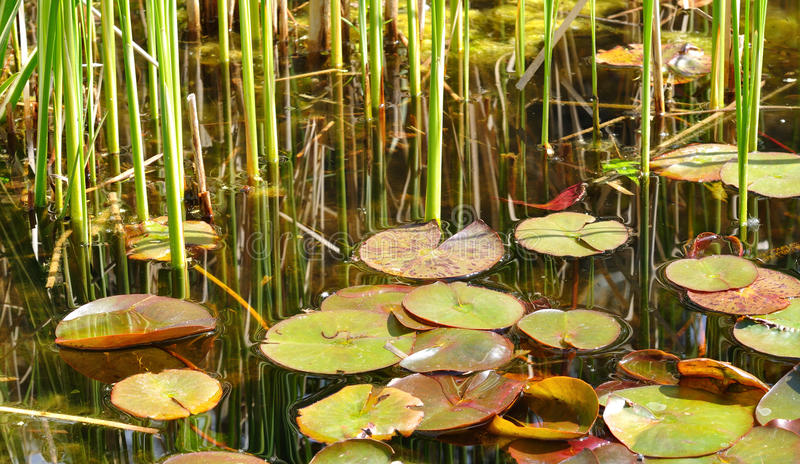 Lily Pads and Reeds. On a Pond stock photos