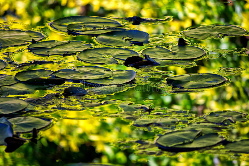 Lily pads. And reflection, Hunter Valley Gardens royalty free stock images